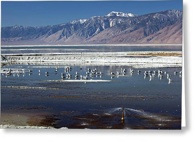 California Gulls On Owens Lake Greeting Card by Jim West