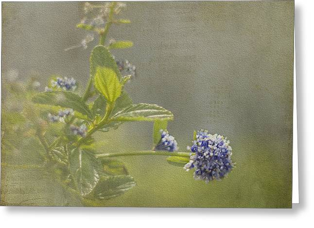 Californian Greeting Cards - California Lilac Greeting Card by Clare Bambers