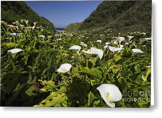 Big Sur California Greeting Cards - California Lilies Greeting Card by George Oze