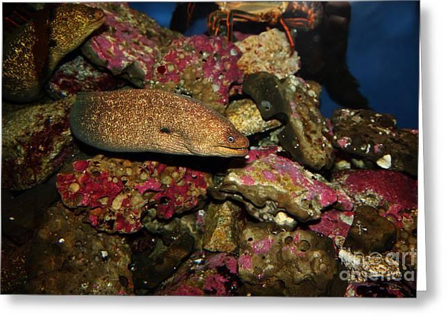 Aquarium Fish Greeting Cards - California Moray Eel 5D24871 Greeting Card by Wingsdomain Art and Photography