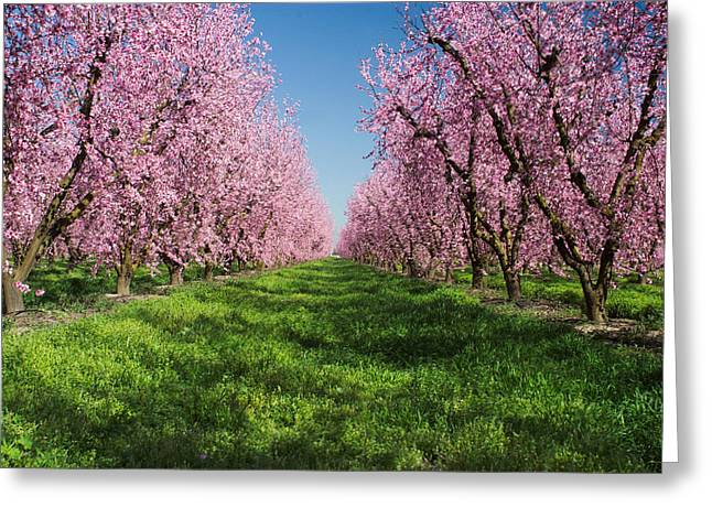 Spring Scenes Greeting Cards - California Peach Tree Orchard  Greeting Card by Anonymous