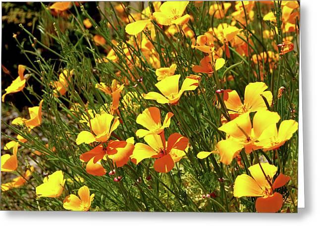 California Orange Poppy. Yellow Poppy Greeting Cards - California Poppies Greeting Card by Ed  Riche