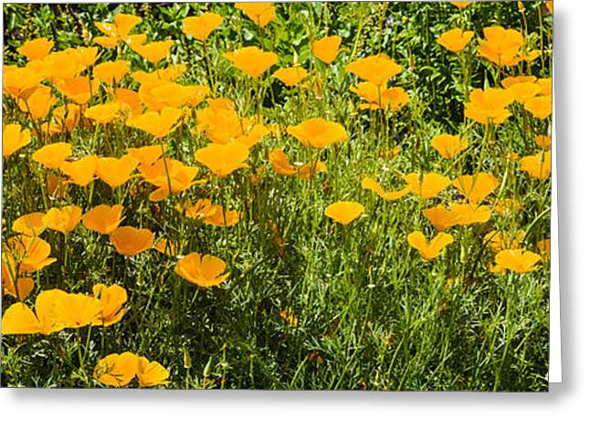 Flowers In California Greeting Cards - California Poppies Eschscholzia Greeting Card by Panoramic Images
