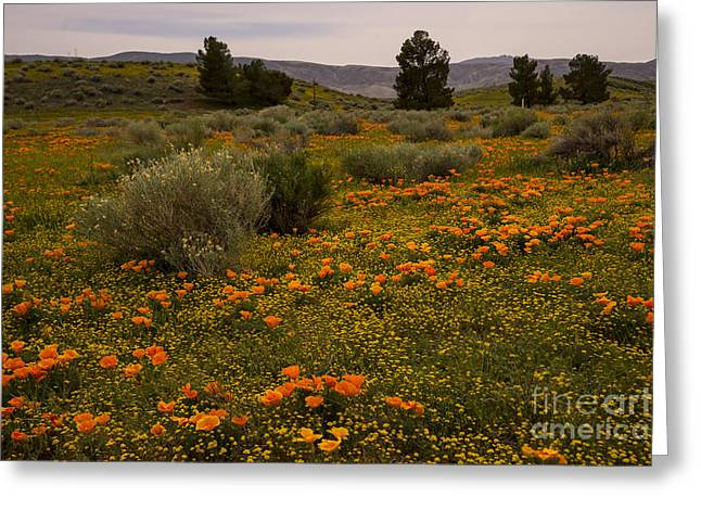 Nina Prommer Greeting Cards - California poppies in the Antelope Valley Greeting Card by Nina Prommer