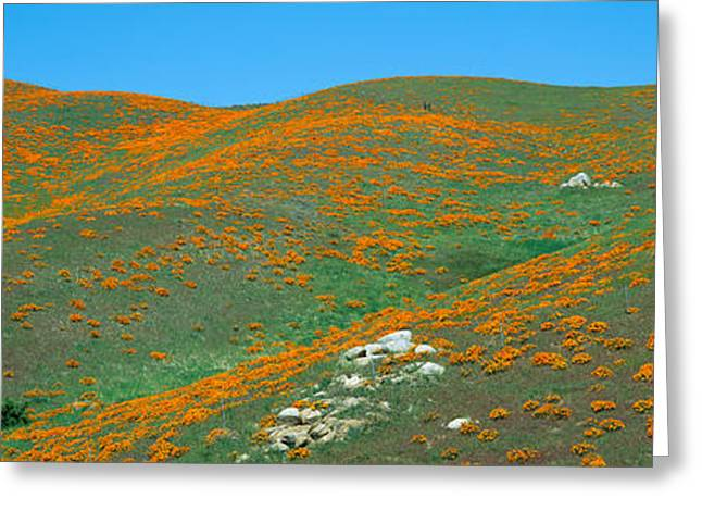 Plantlife Greeting Cards - California Poppies, Spring Wildflowers Greeting Card by Panoramic Images