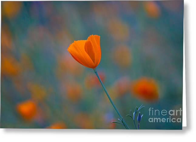 California Poppy Greeting Card by Anthony Bonafede