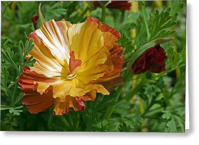 California Orange Poppy. Yellow Poppy Greeting Cards - California Poppy (Eschscholzia sp.) Greeting Card by Science Photo Library