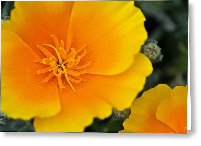Capitol Flowers Greeting Cards - California Poppy in Spring Greeting Card by Matthew Bamberg