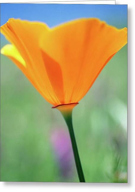California Poppy Greeting Card by Kathy Yates
