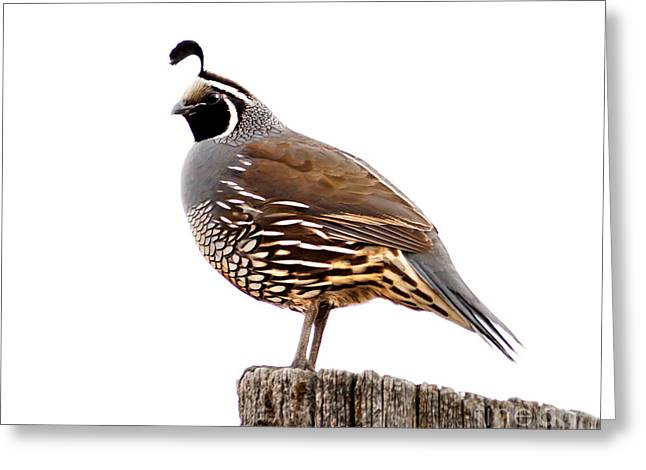 Haybales Greeting Cards - California Quail Greeting Card by Robert Bales