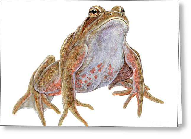 California Art Greeting Cards - California Red-legged Frog Greeting Card by Carlyn Iverson
