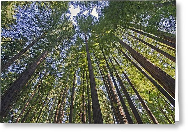 Santa Cruz Greeting Cards - California Redwood Forest Greeting Card by Brendan Reals