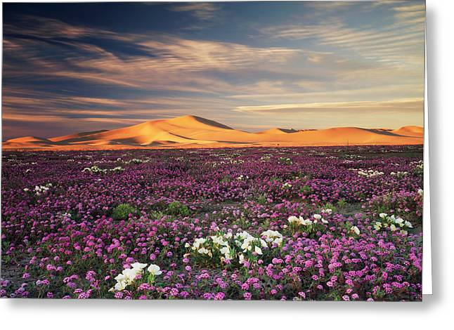 California, Sand Verbena Wildflowers Greeting Card by Christopher Talbot Frank