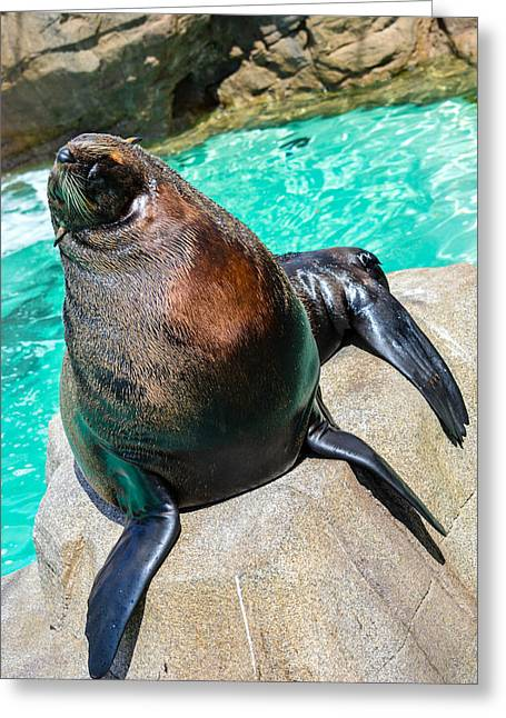 California Sea Lions Greeting Cards - California Sea Lion 2 Greeting Card by Tommy Anderson