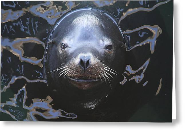 California Sea Lions Greeting Cards - California Sea Lion 20130311 Greeting Card by Rob Bielawski