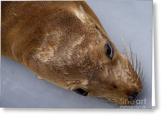 California Sea Lions Greeting Cards - California Sea Lion   #2335 Greeting Card by J L Woody Wooden