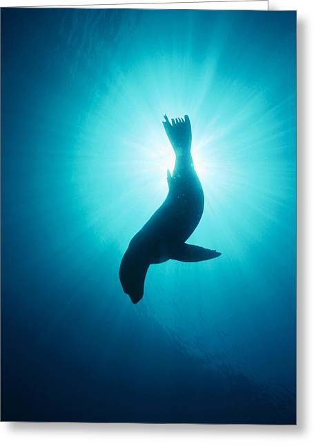 California Sea Lions Greeting Cards - California Sea Lion  Channel Islands Np Greeting Card by Flip Nicklin
