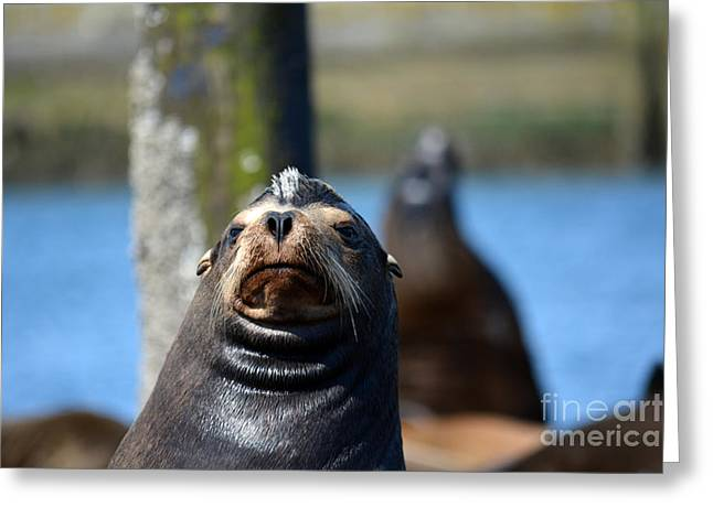 California Sea Lions Greeting Cards - California Sea Lion Greeting Card by Gayle Swigart