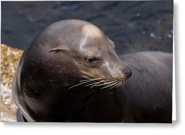 California Sea Lions Greeting Cards - California Sea Lion Greeting Card by John Daly