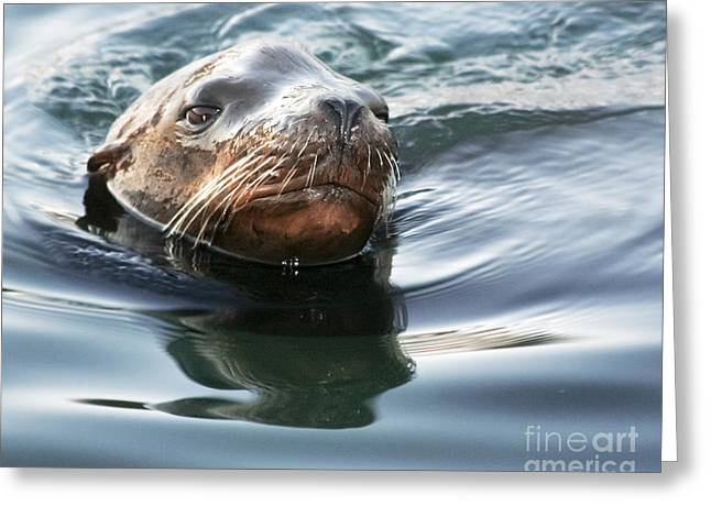 California Sea Lions Greeting Cards - California Sea Lion Greeting Card by Laura L Leatherwood