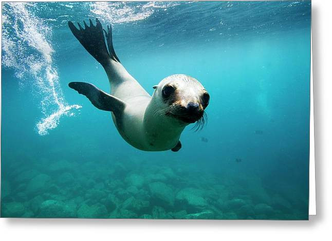 California Sea Lion Pup Greeting Card by Christopher Swann