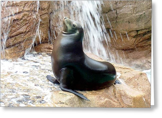 California Sea Lions Greeting Cards - California Sea Lion Resting in Front of a Waterfall Greeting Card by Jessica Foster