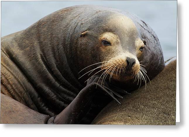 California Sea Lion Resting Greeting Card by Ken Archer
