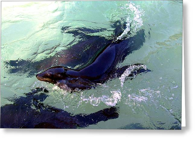 California Sea Lions Greeting Cards - California Sea Lion Swimming Around Greeting Card by Jessica Foster