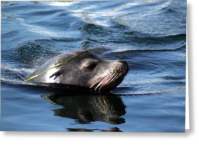 Valerie Broesch Greeting Cards - California Sea Lion  Greeting Card by Valerie Broesch