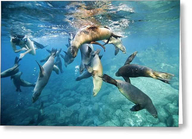 California Sea Lions And Snorkeller Greeting Card by Christopher Swann