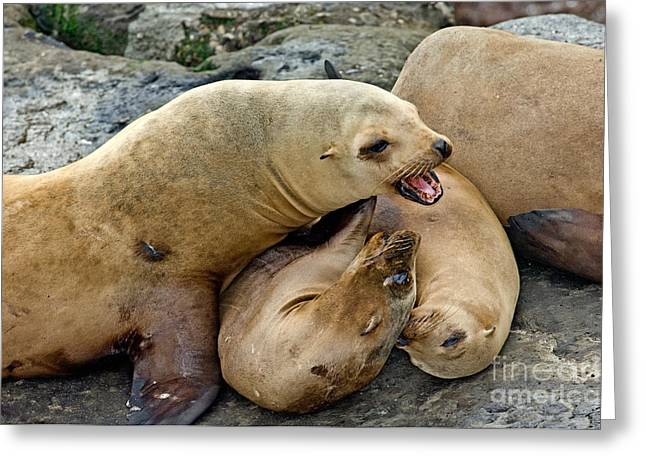 California Sea Lions Greeting Card by Anthony Mercieca