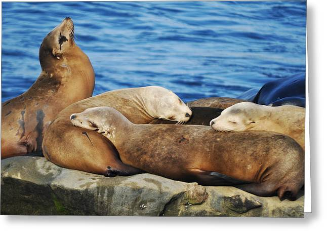 California Sea Lions Greeting Cards - California Sea Lions in La Jolla Greeting Card by Kyle Hanson