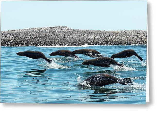 California Sea Lions Leaping Greeting Card by Christopher Swann