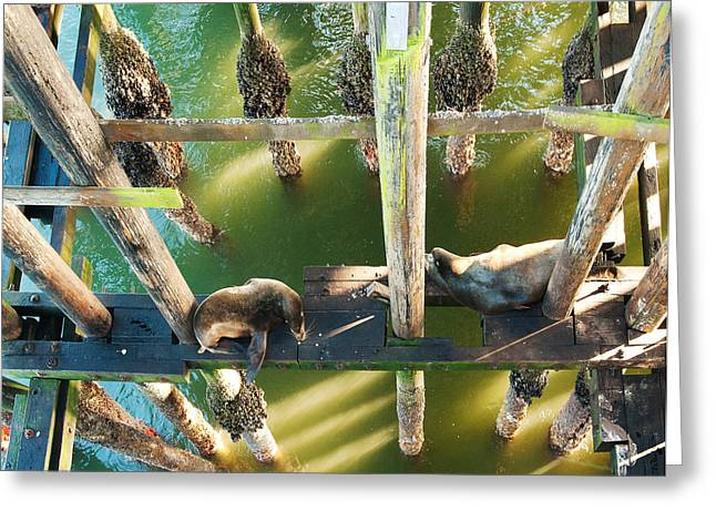 Santa Cruz Pier Greeting Cards - California Sealions Under the Santa Cruz Pier Greeting Card by Artist and Photographer Laura Wrede