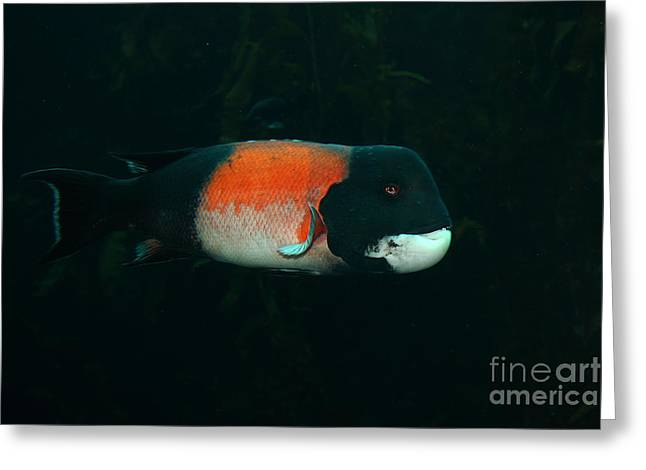 Snorkel Greeting Cards - California Sheephead Fish 5D24795 Greeting Card by Wingsdomain Art and Photography