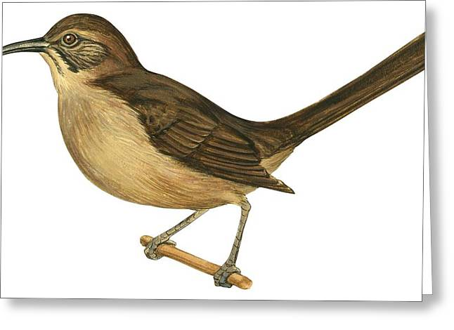 Ornithological Drawings Greeting Cards - California thrasher Greeting Card by Anonymous