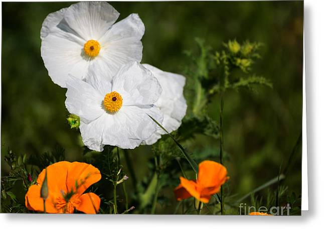 Californian Greeting Cards - California tree poppies with golden poppies in a meadow Greeting Card by Louise Heusinkveld