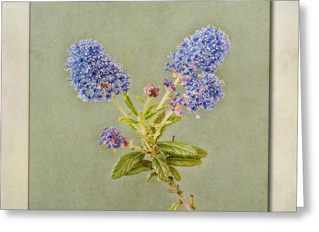 Californian Greeting Cards - Californian Lilac Greeting Card by John Edwards
