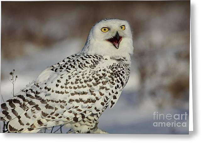 Call of the North - Snowy Owl Greeting Card by Inspired Nature Photography By Shelley Myke