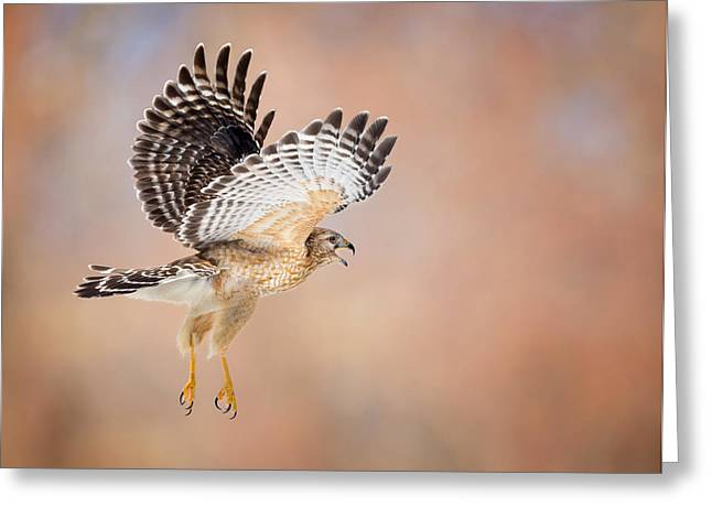 Raptor In Flight Greeting Cards - Call Of The Wild Greeting Card by Bill Wakeley