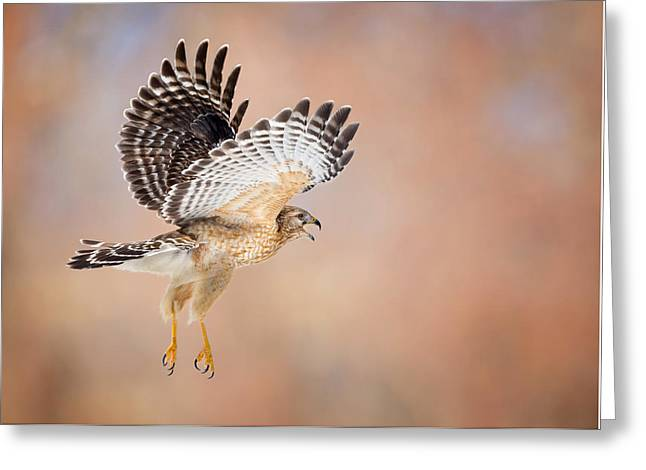 Red Shouldered Hawk Greeting Cards - Call Of The Wild Greeting Card by Bill Wakeley