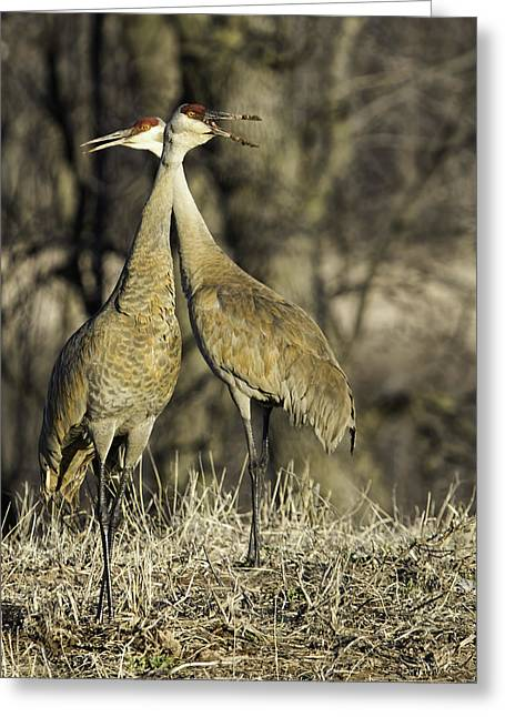 Sandhill Cranes Greeting Cards - Call Of The Wild Greeting Card by Thomas Young