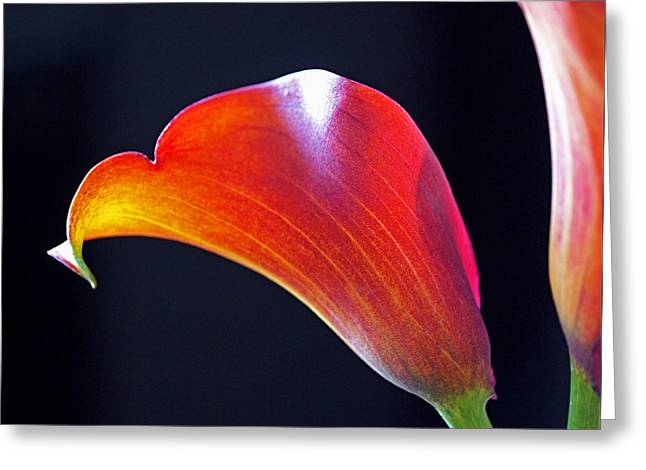 Calla Greeting Cards - Calla Colors and Curves Greeting Card by Rona Black