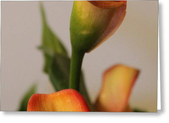 Calla Lilies Greeting Card by Cathy Lindsey