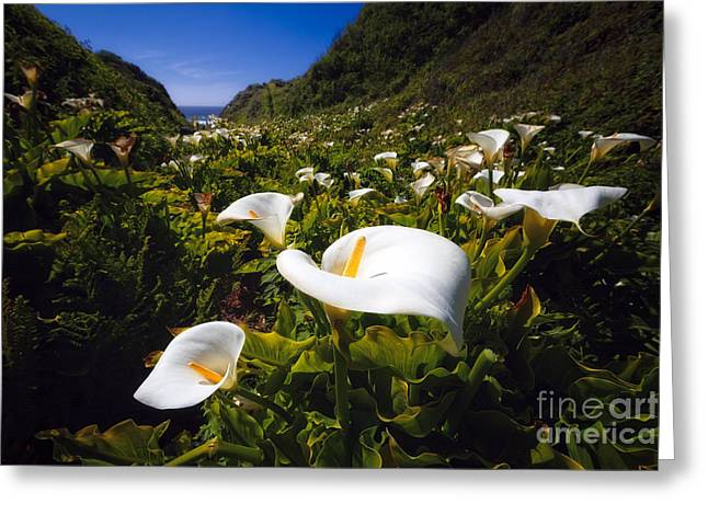 Big Sur Greeting Cards - Calla Lilies of Big Sur  Greeting Card by George Oze
