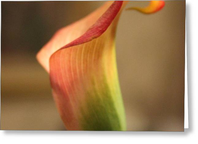 Calla Lily 3 Greeting Card by Cathy Lindsey