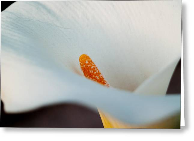 Calla Lily II Greeting Card by Bill Gallagher