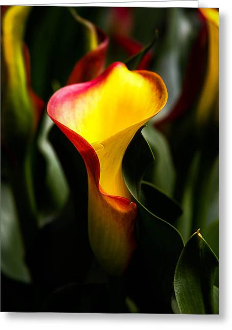 Golds Pyrography Greeting Cards - Calla Lily Greeting Card by Menachem Ganon