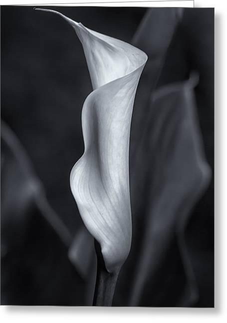 Calla Palustris Greeting Cards - Calla Lily No. 2 - BW Greeting Card by Belinda Greb