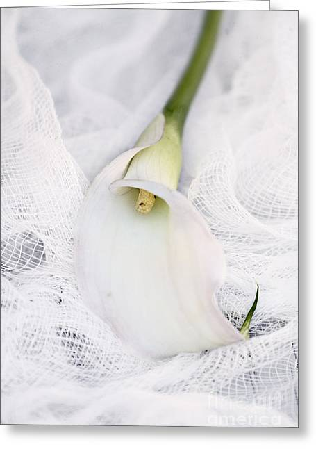 Calla Lily Greeting Cards - Calla Lily on White Background Greeting Card by Stephanie Frey